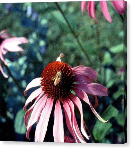 Purple Echinacea Canvas Print