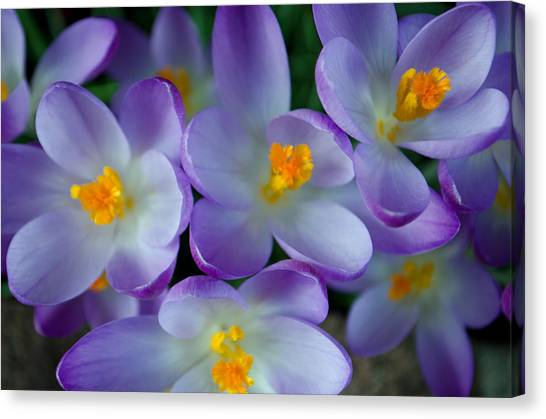 Purple Crocus Gems Canvas Print