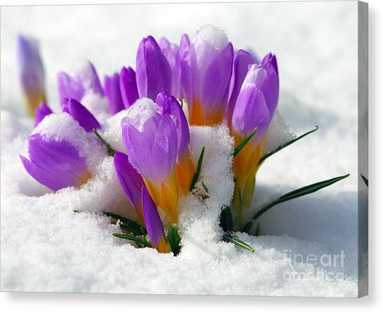 Purple Crocuses In The Snow Canvas Print