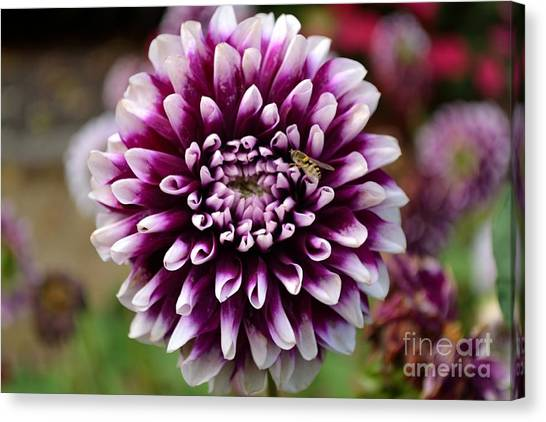 Purple Dahlia White Tips Canvas Print