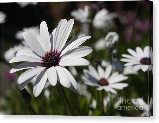 Purple Daisies 2 Canvas Print