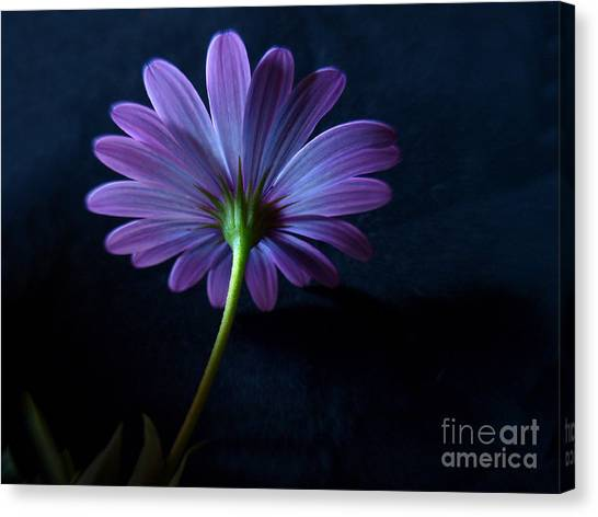 Purple Daisy Canvas Print