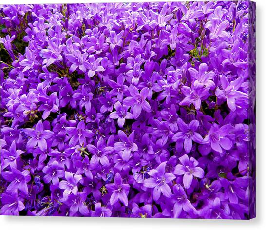 Purple Dalmatian Bellflower Canvas Print by Vanessa Thomas