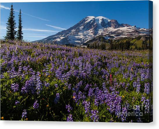 Mount Rainier Canvas Print - Purple Fields Forever And Ever by Mike Reid