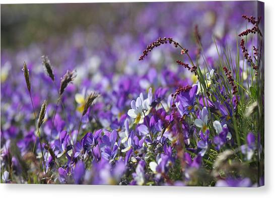 Purple Flower Bed Canvas Print