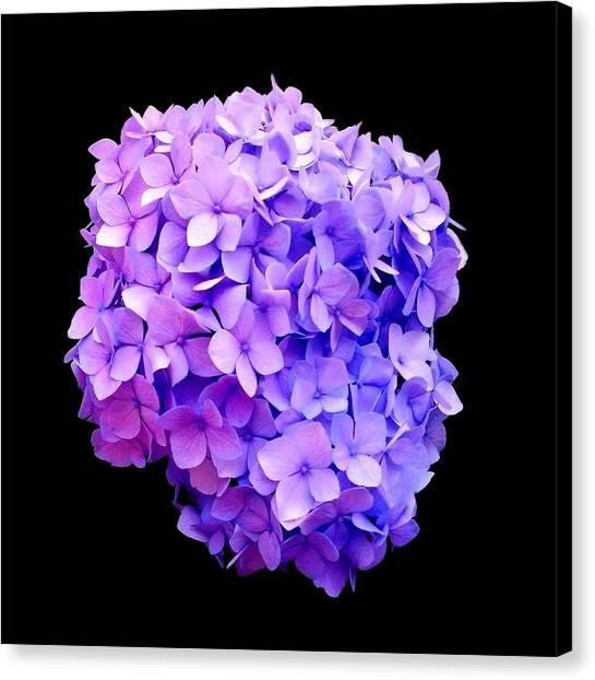 'purple Hydrangea Bloom'  Canvas Print