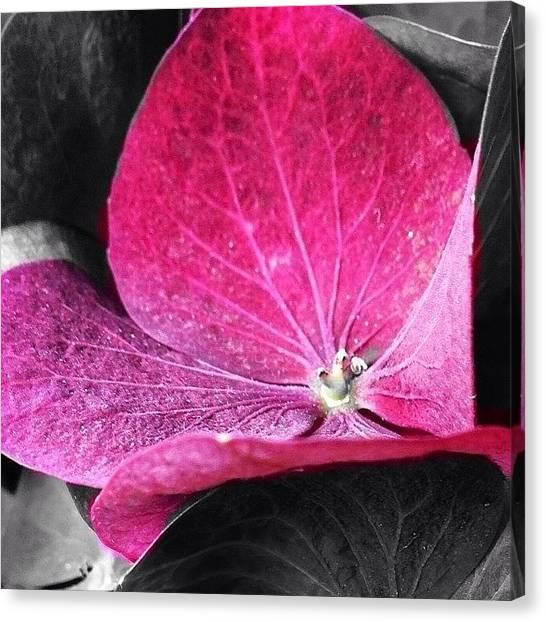 Romanticism Canvas Print - Purple Hydrangea by Cristina Stefan