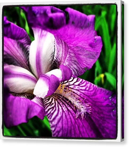 Irises Canvas Print - Purple Iris by Dwight Darling