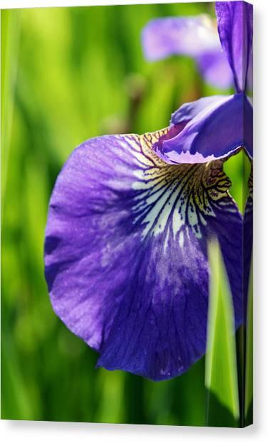 Purple Iris Canvas Print by Jamie McBride