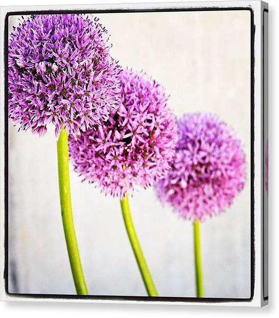 Onions Canvas Print - #purple by Kelly Hasenoehrl