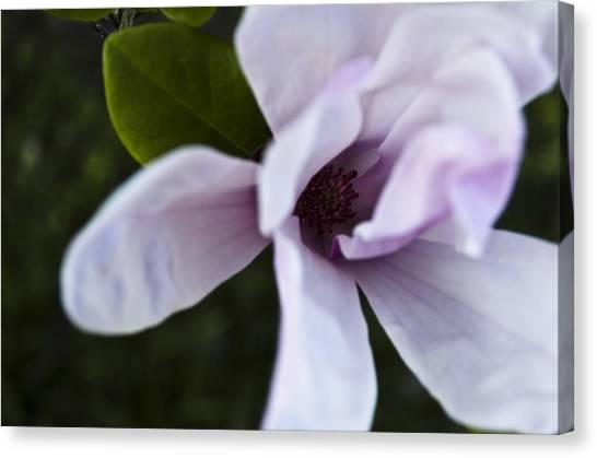 Purple Lily Magnolia Bloom Canvas Print