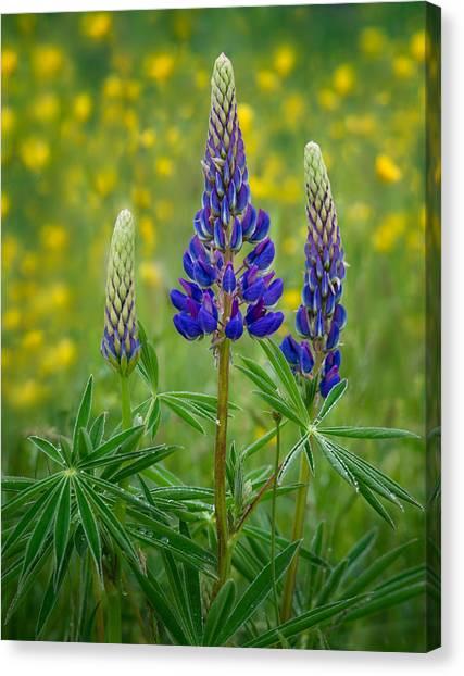 Purple Lupines Canvas Print