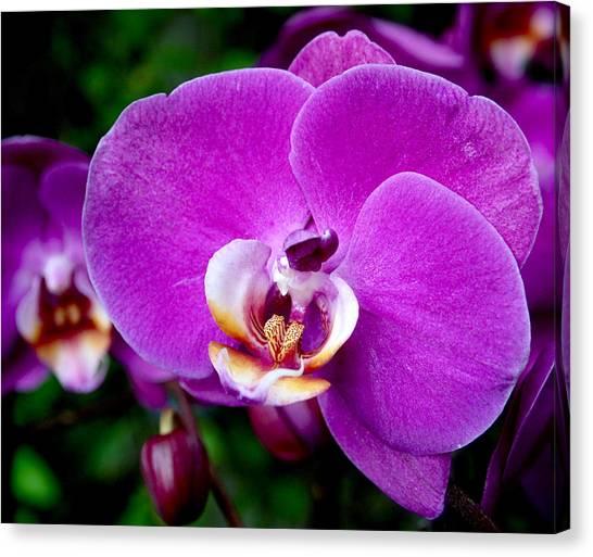 Phalenopsis Canvas Print - Purple Orchid by Rona Black