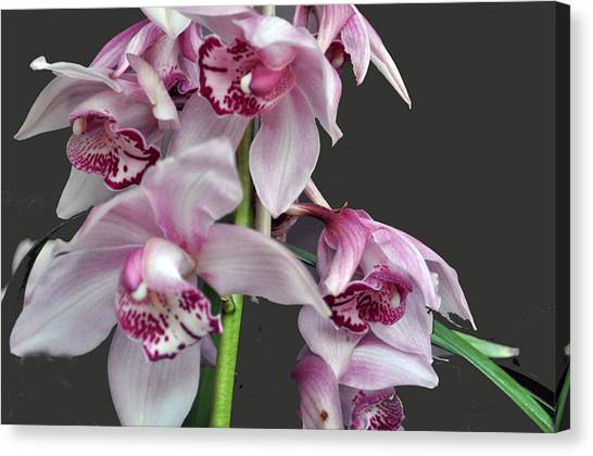 Purple Orchids Canvas Print by Judith Russell-Tooth