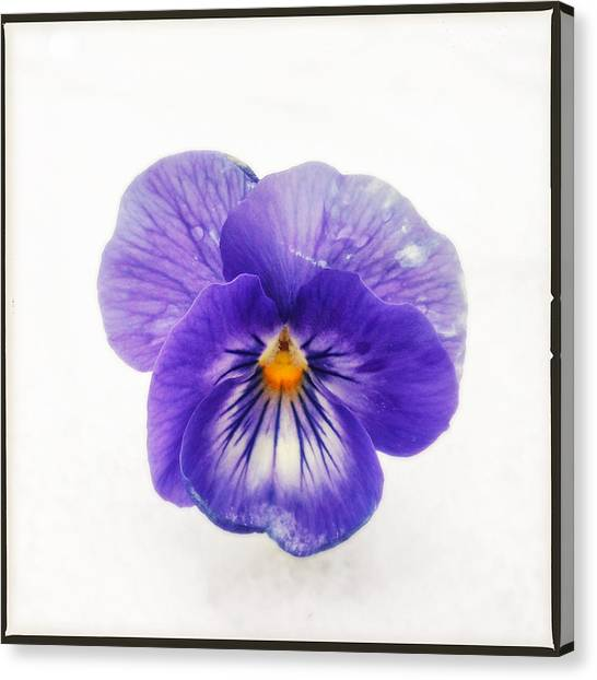 Back Canvas Print - Purple Pansy - Tough Flower In The Snow by Matthias Hauser