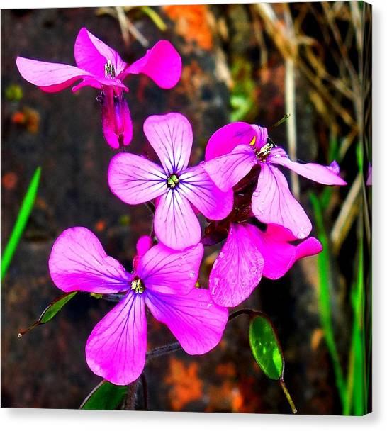 Purple Lunaria Canvas Print