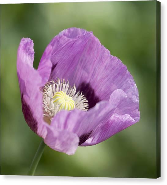 Purple Poppy Canvas Print