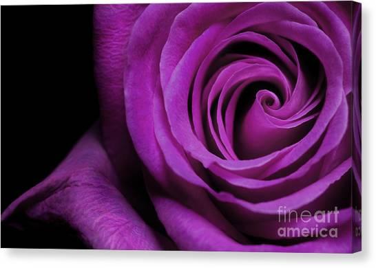 Purple Roses Closeup Canvas Print