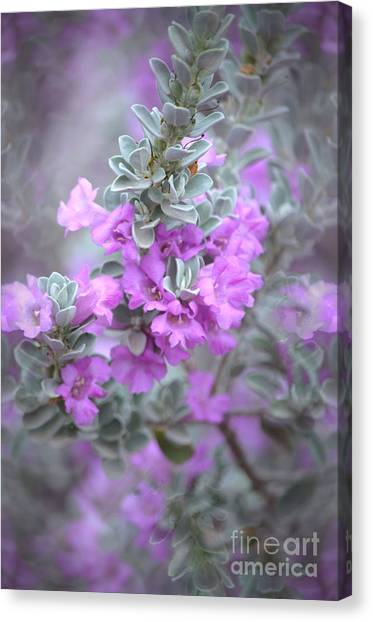 Purple Sage Canvas Print