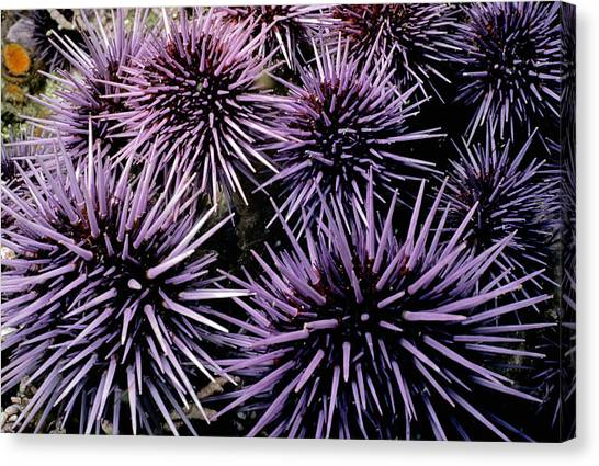 Kelp Forest Canvas Print - Purple Sea Urchins by Jeff Rotman
