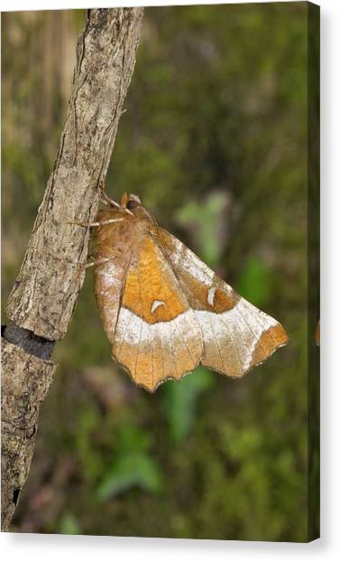 Purple Thorn Moth Canvas Print by David Aubrey/science Photo Library