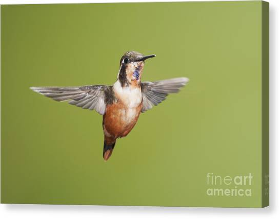 Purple-throated Woodstar Hummingbird Canvas Print