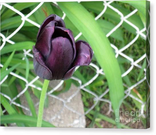 Purple Tulip Canvas Print
