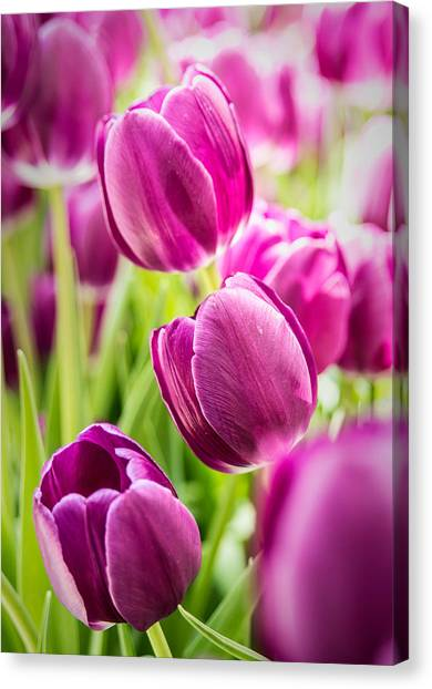 Purple Tulip Garden Canvas Print