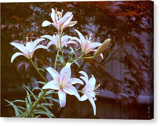 Purple/white Lily Canvas Print