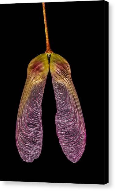 Purple Winged Maple Canvas Print