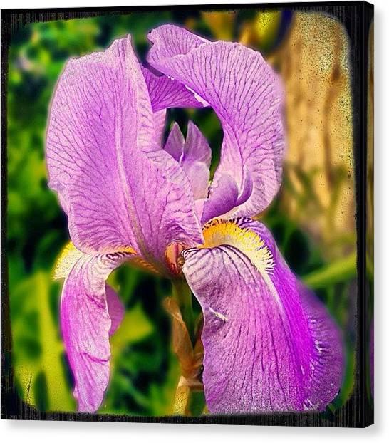 Irises Canvas Print - #purple#flower#iris#nature#insta_crew by Melissa Mariani