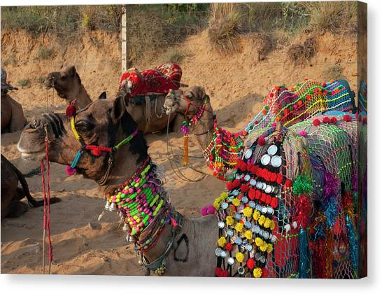 Thar Desert Canvas Print - Pushkar, Rajasthan, India by Inger Hogstrom
