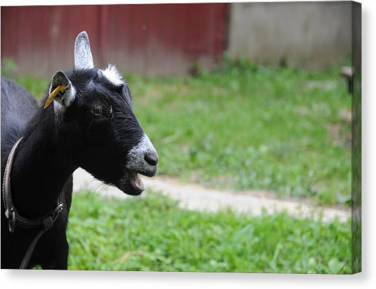 Pigmy Canvas Print - Pygmy Goat by Bonnie Sue Rauch