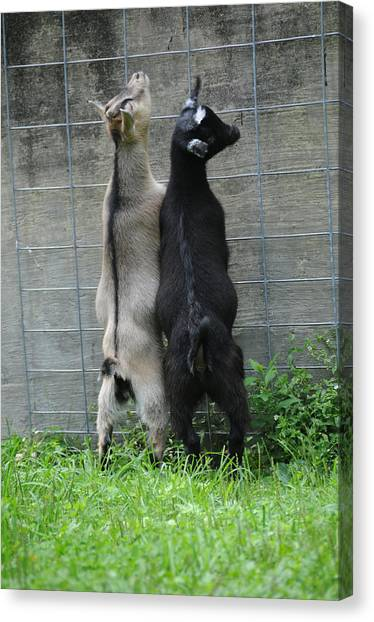 Pigmy Canvas Print - Pygmy Goats by Bonnie Sue Rauch
