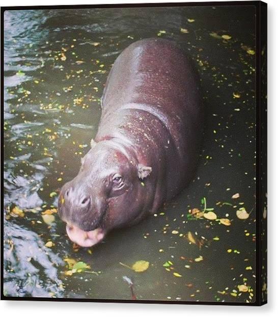Hippos Canvas Print - #pygmy #hippo #hippopotamus #bath by Siobhan Macrae