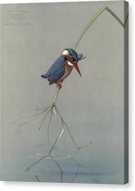 Kingfisher Canvas Print - Pygmy Kingfisher by Dreyer Wildlife Print Collections