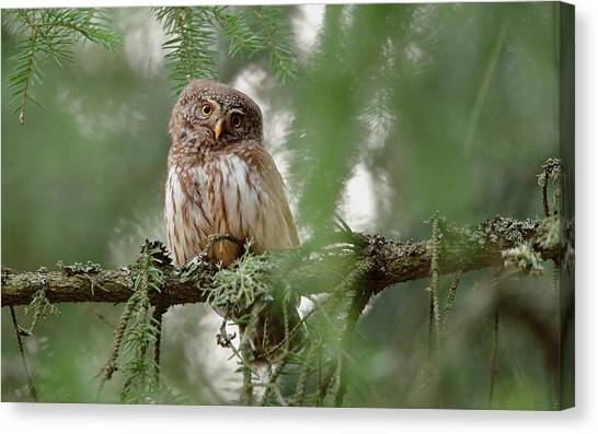 Fir Trees Canvas Print - Pygmy Owl by Assaf Gavra
