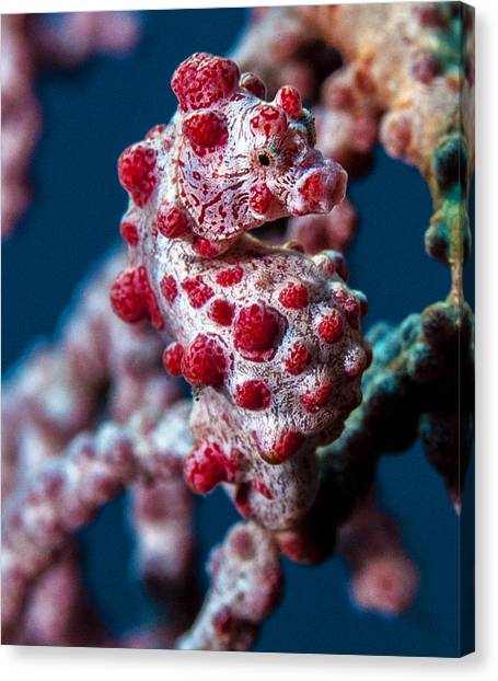 Pygmy Sea Horse Canvas Print