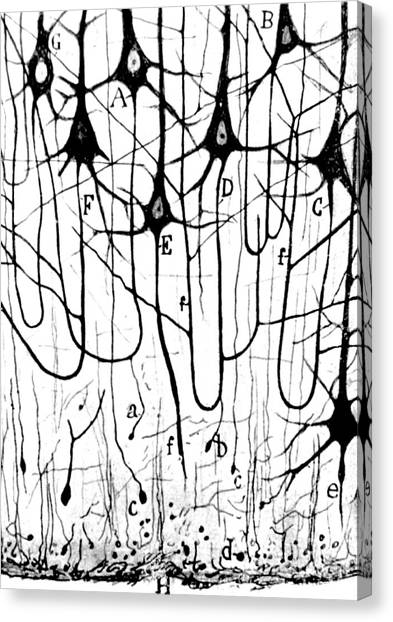 Pyramidal Cells Illustrated By Cajal Canvas Print