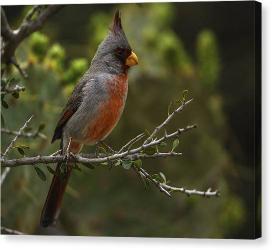 Pyrrhuloxia Portrait Canvas Print