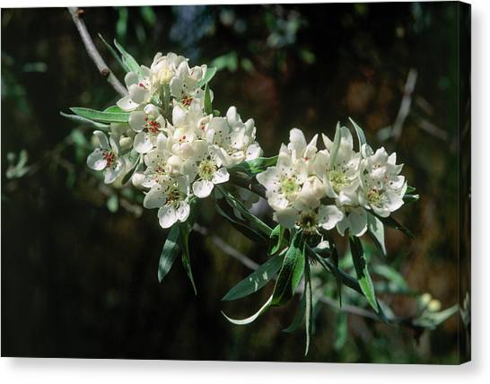 Weeping Willows Canvas Print - Pyrus Salicifolia Pendula by Adrian Thomas/science Photo Library