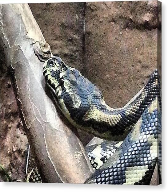 Pythons Canvas Print - #python #bhamzoo by Eric Fines