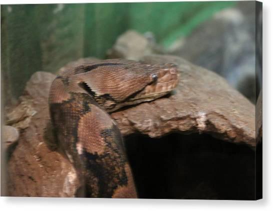 Burmese Pythons Canvas Print - Python by Jessi Boise