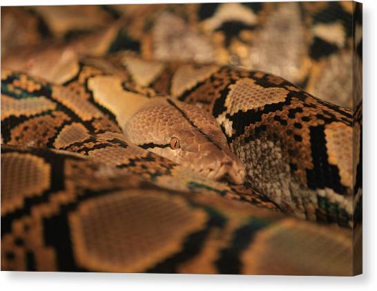 Reticulated Pythons Canvas Print - Python by Pete Federico