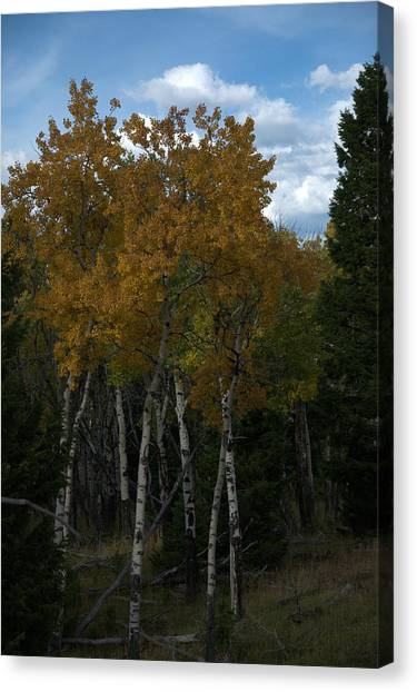 Quaking Aspen Canvas Print