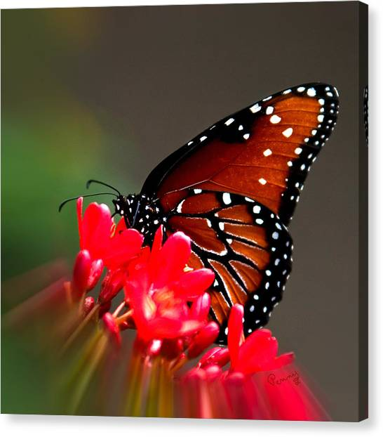 Queen Butterfly II Canvas Print