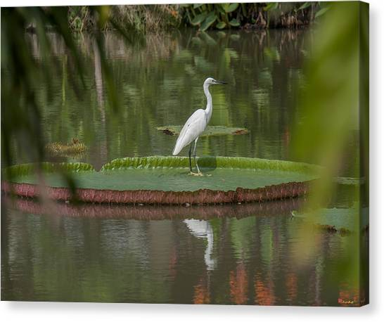 Queen Victoria Water Lily Pad With Little Egret Dthb1618 Canvas Print