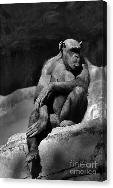 Chimpanzees Canvas Print - Quiet Time by Dan Holm