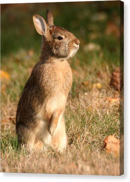 Canvas Print featuring the photograph Rabbit Standing In The Sun by William Selander