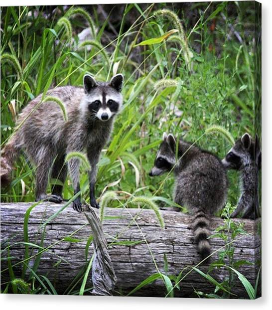 Raccoons Canvas Print - Raccoon Family Fun At The Waters Edge by Randall Allen